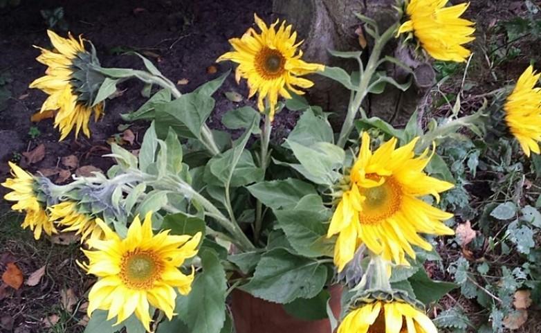<span>Sonnenblumen:</span>